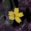 """Goodenia rotundifolia"""