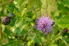 CANADIAN THISTLE - Western Penn. - July 2006