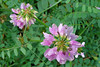 CROWN VETCH - Western Penn. - July 2006