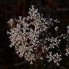 """""""Conospermum taxifolium"""""""