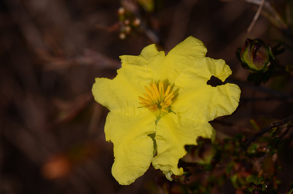 """Hibbertia sp."" of the Yuraygir National Park"
