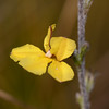 """Goodenia sp."""