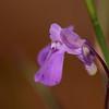 "Probable bladderwort, ""Utricularia sp."""
