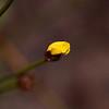 "Tall Yellow-Eye,   ""Xyris operculata"", about to bloom."