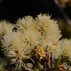 """We thought initially this was the Sickle-leaved Wattle,  """"Acacia falcata"""";  however,  leaves do not really match, so final analysis, """"Melaleuca nodosa""""."""