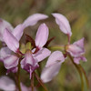 "Purple Donkey Orchid, ""Diuris punctata""."