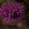 "Pink kunzea, ""Kunzea capitata"", note long multiple stamens.  See other purple flower, Purple Paperbark further along in gallery."