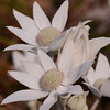 "Flannel Flower.  ""Actinotus helianthi"".  This is the floral emblem for New South Wales.  A flower which is widespread to the area, more profuse in spring, but in pockets can be seen year round.  The white bracts are felt-like in texture and surround a condensed flower head.  Interestingly, is a member of the carrot family, ""Apiaceae"".  Its name derived from the Greek refers to sunbeams."
