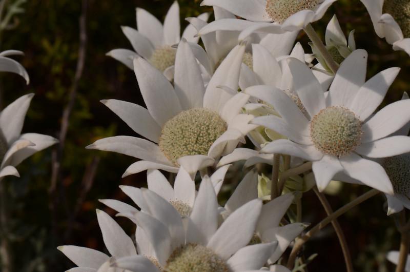 Flannel flowers.