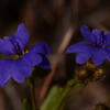 "Blue Damperia, which Barry thinks is ""Dampiera stricta""."