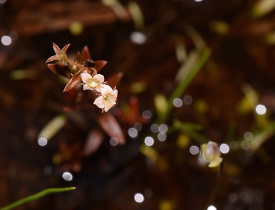 "Very tiny flowers in water filled ruts.  Note defocused Bladderwort back ground right.  Multiple reflections created the ""starry sky"" effect."