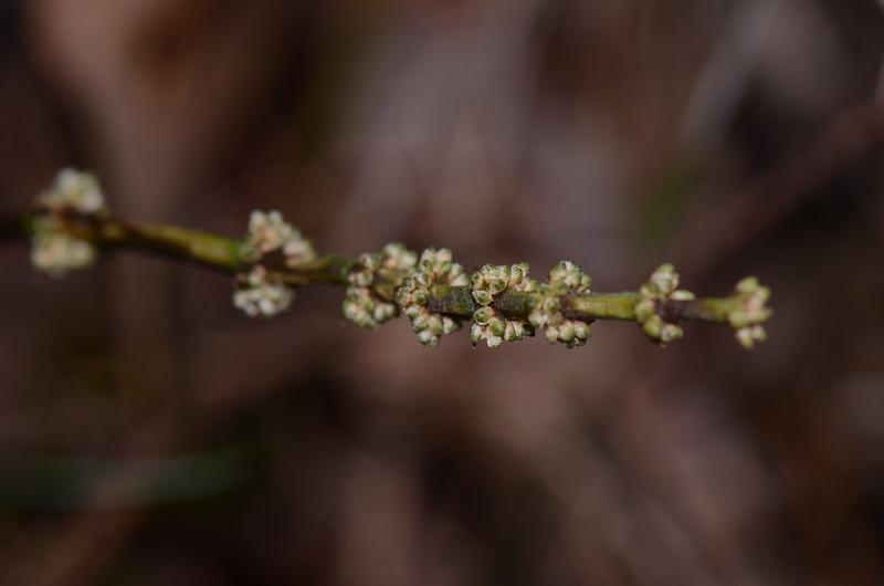 """Lomandra multiflora"", in bud."