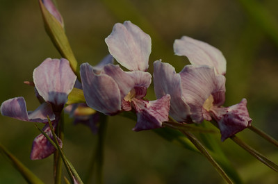 Wild Orchids of the Yuraygir National Park