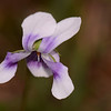 """Viola banksii"".  This lovely flower is also known as the native violet and was originally collected by Banks and Solander. It is an example of a scape, where there is a flowering stem, with all the leaves at the base of the plant."