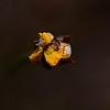 """""""Xyris Operculata"""" , Tall Yellow-Eye,  past blooming."""