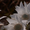 Flannel flowers.