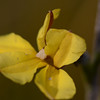"""Goodenia sp."" probably ""stelligera"""
