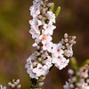"""Epacris microphylla"", Coral Heath.  Flowers in late winter to spring."