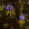 "Blue flax lily, ""Dianella sp."".  I am not sure we have seen the congesta, and will look for its features, dune, forming a mat, and flowers not above the leaves."