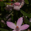 "Pink Waxflower, ""Eriostemon australasius"". Small shrub with narrow waxy leaves which are silvery underneath."