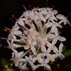 "Common Riceflower,   ""Pimelea linifolia""."
