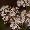 """Astrotricha longifolia"", the Star-hair Bush."