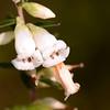 """Epacris obtusifolia"",  Blunt-leaf Heath"