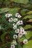 Aster, White Heath (Aster pilosus)