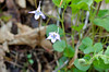 Violet, Long-spurred (Viola rostrata)