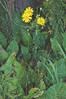 Praire Dock (Silphium terebinthinaceum)