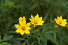 Tickseed Sunflower, Ozark (Bidens polylepis)