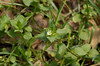 Chickweed, Common (Stellaria media)