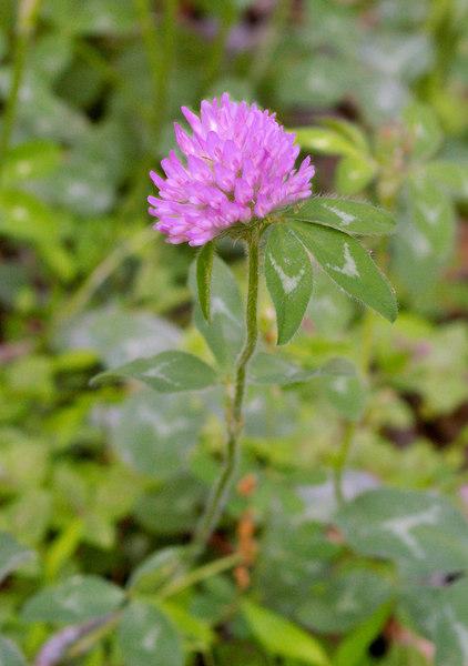 Clover, Red (Trifolium pratense)