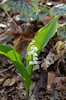 Lily of the Valley (Montana convallaria)