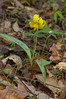 Trout Lily (Erythronium americanum), with yellow anthers