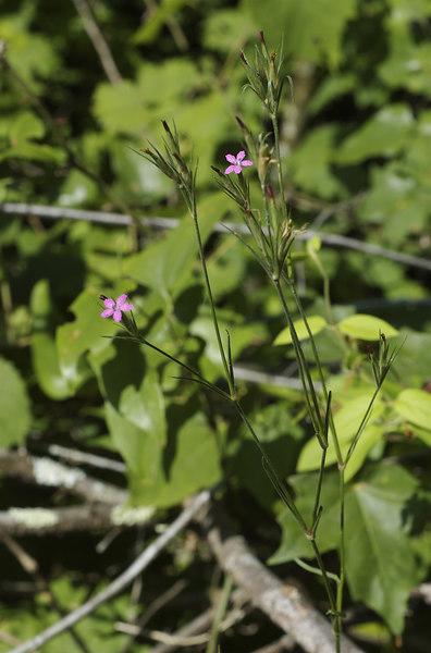 Pink, Deptford (Dianthus armeria)