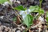 Trillium, Large-flowered (Trillium grandiflorum)