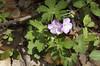 Geranium, Wild (Geranium maculatum)