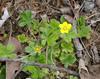 Cinquefoil, Dwarf (Potentilla canadensis)