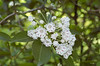 Mountain Laurel (Kalmia latifolia), white