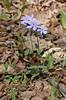 Phlox, Blue (Phlox divaricata)