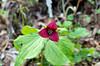 Trillium, Southern Red (Trillium sulcatum)