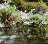 Stonecrop, Wild (Sedum ternatum)