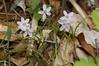 Spring Beauty, Virginia (Claytonia virginica)