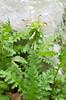 Wood Betony (Pedicularis canadensis)