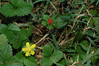 Indian Strawberry (Indica duchesnea)
