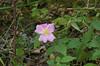 Rose, Carolina (Rosa carolina)