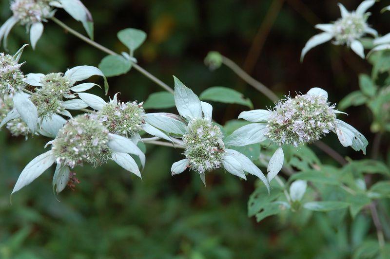 Mountain Mint, Clustered (Pycnanthemum muticum)