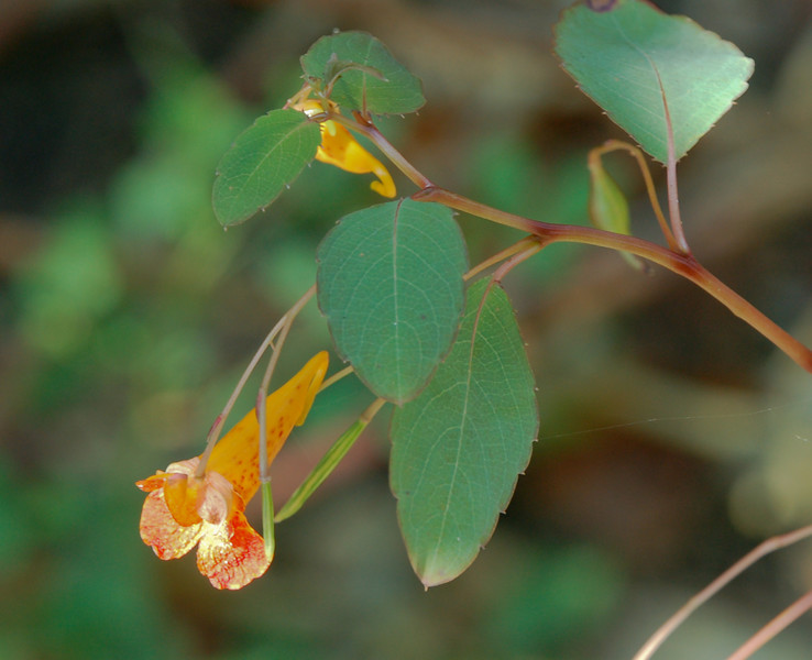 Touch-Me-Not, Spotted (Impatiens capensis)
