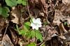 Anemone, Wood (Anemone quinquefolia)
